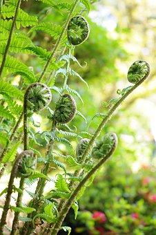 Fern, Plant, Nature, Green, Leaves, Garden, Roller