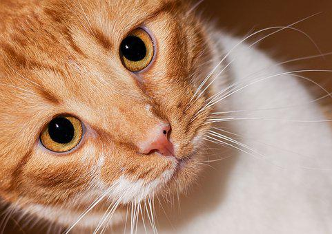 Cat, Pet, Domestic Cat, Animal Portrait, Close Up, Head