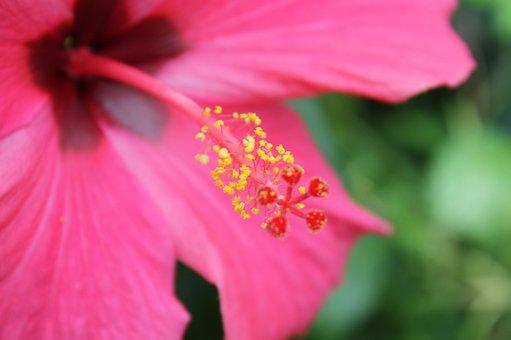 Flower, Hibiscus, Macro, Blossom, Bloom, Mallow, Flora