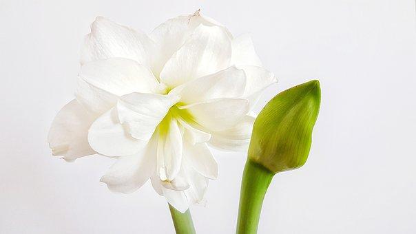 Flower, Hippeastrum, Bud, Plant, Bulbous, Indoor, Bloom