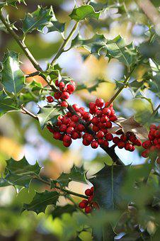 Holly, Winter, Decoration, Red, Holiday, Tree, Berries