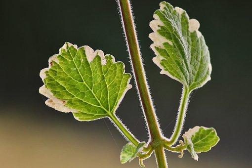 Incense Plant, Plectranthus Coleoides, Hanging Plant