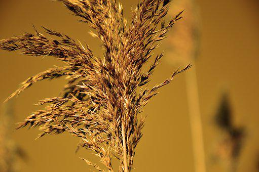 Grass, Grasses, Reed, Blossom, Bloom, Inflorescence