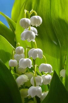 Lily Of The Valley, Flower, Spring, White, Bouquet
