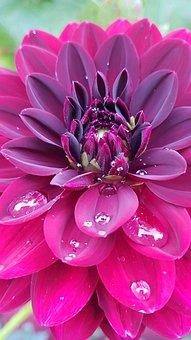 Dahlia, Garden, Blossom, Bloom, Macro, Flower, Plant