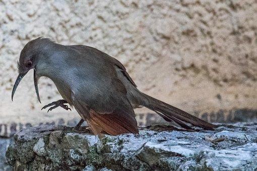 Cuba, Artemisa, Arriero, Bird, Birding, Nature