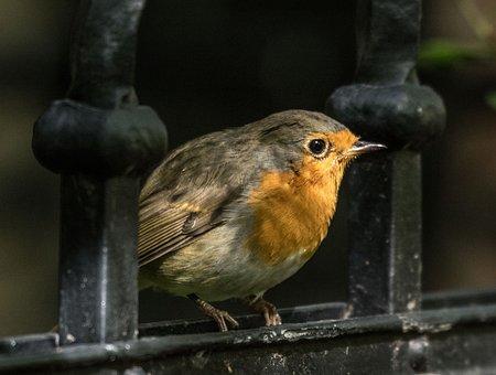Robin, Bird, Songbird, Animal, Nature, Small Bird