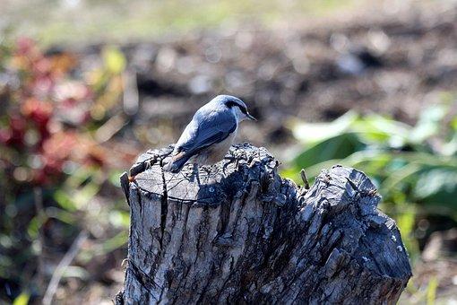 Nuthatch, Bird, Sitta Europaea Amurensis, Amur Nuthatch