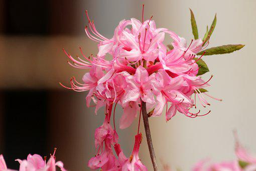 Rhododendron, Plant, Pink Flowers, Bloom, Flowers