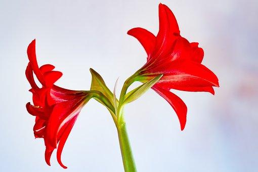 Amaryllis, Nature, Plant, Flower, Blossom, Bloom, Red