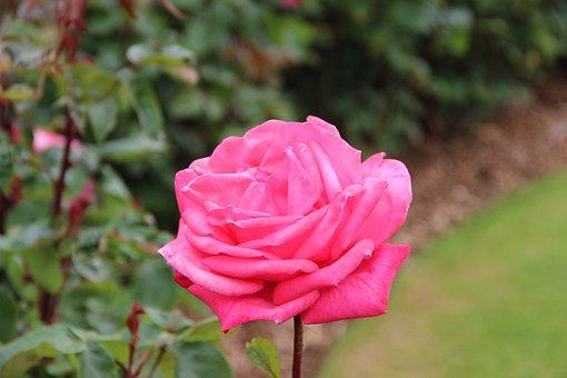Rose, Flower, Blossom, Roses, Pink, Plant, Romantic