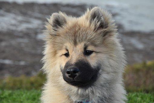Dog, Pup, Dog Portrait, Dog Eurasier Olaf Blue, Canine