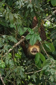 Sloth, Costa Rica, Nature, Tropical, Rainforest, Animal