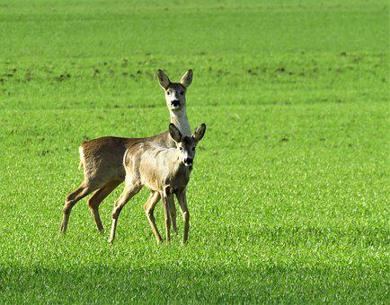 Nature, Wildlife, Roe Deer, Green, Wheat