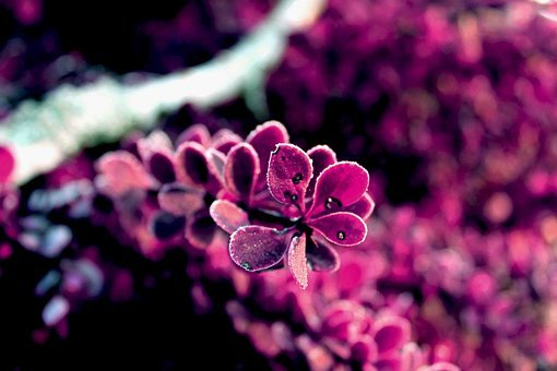 Pink, Background, Plant, Nature, Romantic, Bloom, Love