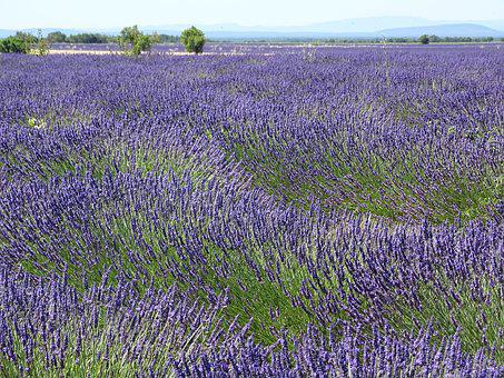 Lavender, Field, Fragrance, Smell, Cosmetics, Perfume