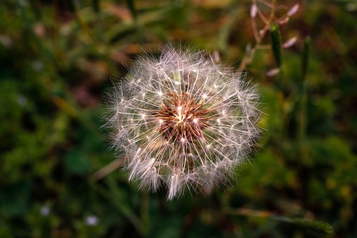 Dandelion Mr Hall, Spring, Flowers, Nature, Plants