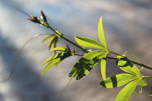 Backlight, Plant, Branch, Passion Flower, Vine, Climber
