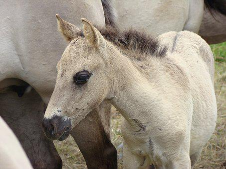 Wild Horse, Foal, Konik, Animals