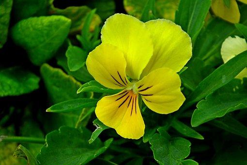 Pansy, Flower, Yellow, Garden, Nature, Closeup