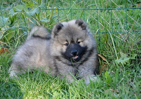 Dog, Puppy, Young Dog Eurasier, Bitch Orlaya, Adorable
