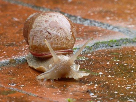 Snail, Animal, Paraguay