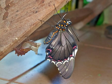 Butterfly, Paraguay, Animal, South America