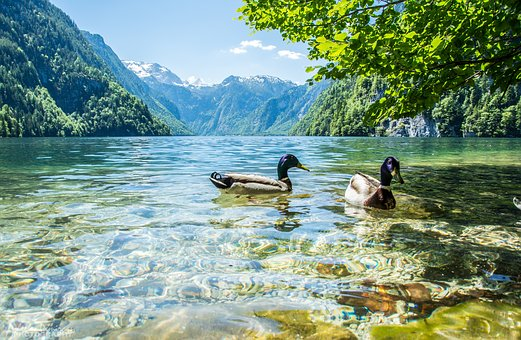 River, Nature, Water, Bird, Ducks, Swim