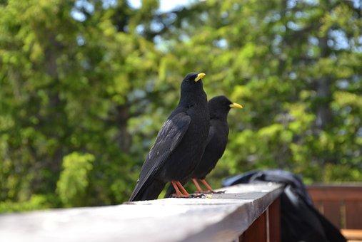 Dig, Birds, Crow, Black, Animal, Animal World, Sitting