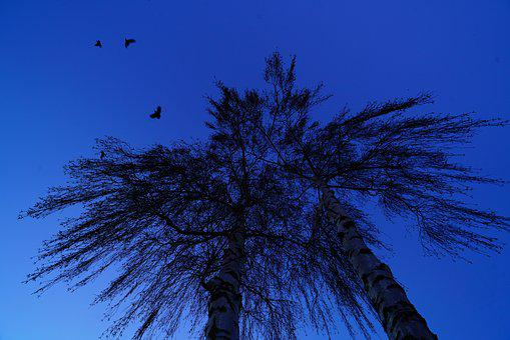 Trees, Birds, Flying, Freedom, Birch
