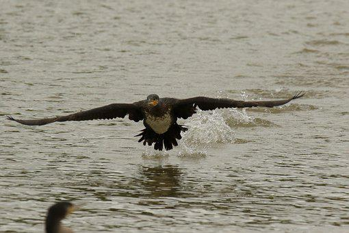Cormorant, Bird, White-breasted, Flying