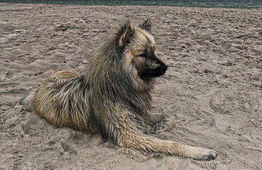 Dog, Eurasians, Beach, Sand, Baltic Sea, Animal, Fur