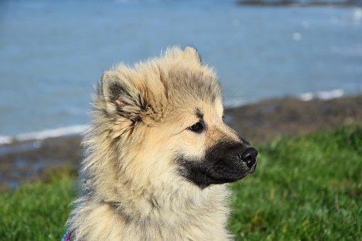 Dog, Dog Portrait, Dog Eurasier, Dog Olaf Blue