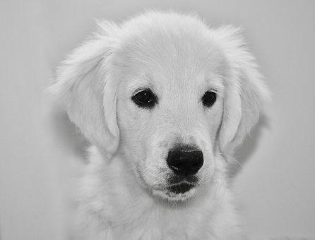 Dog, Dog Golden Retriever, Black And White Photo