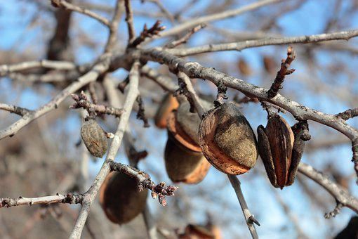 Almonds, Almond Tree, Tree, Branches, Nature, Dry Fruit