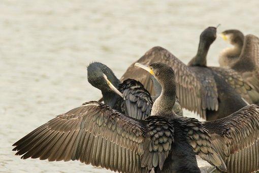 Cormorants, Birds, Wings, Feather, Water