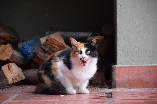 Pet, Cat, Animals, Feline, Kitten, Cute, Tamed