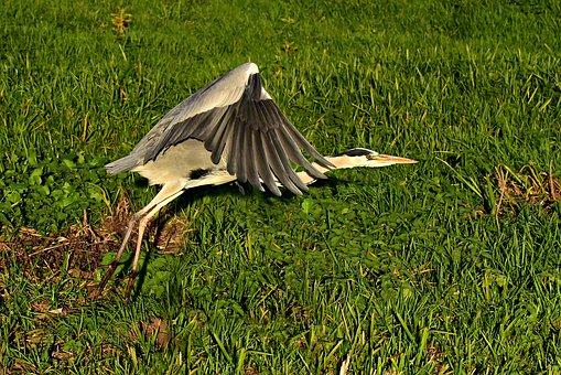 Heron, Wading Bird, Animal, Flight, Wing, Feather