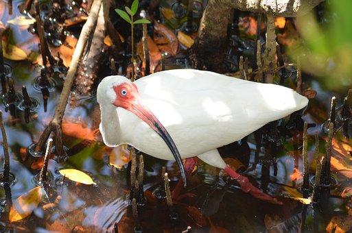 Florida, White Ibis, Ibis, Florida Wildlife, Swamp