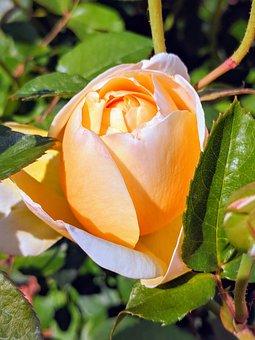 Peach, Colored, Rose, Flower