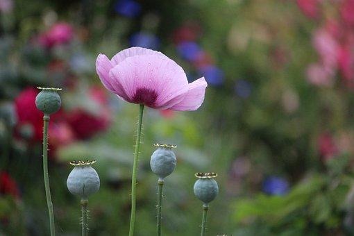 Poppy, Pink, Flower, Garden, Nature, Spring