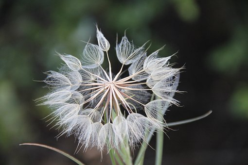 Weed, Seeds, Flower, Plant, White, Green, Round, Petals