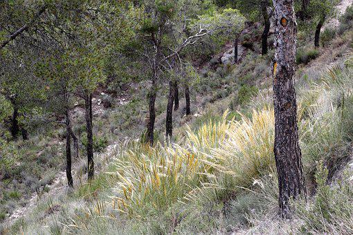 Forest, Trees, Mountain, Nature, Pine, Trunk, Green