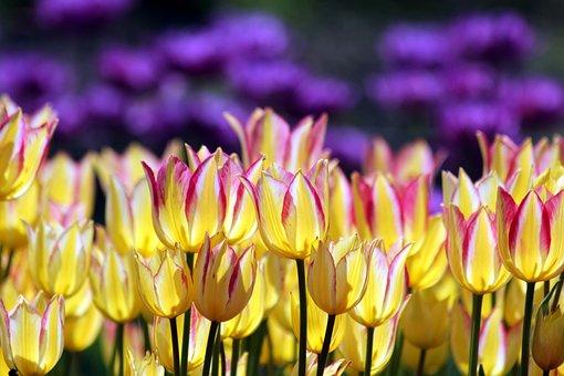 Tulips, Flowers, Nature, Bloom, Garden, Purple