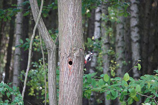 Tree, Forest, Woodpecker, Feed, Hole