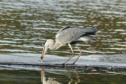 Grey Heron, Bird, Hunting, Prey, Small Fish, Wildlife
