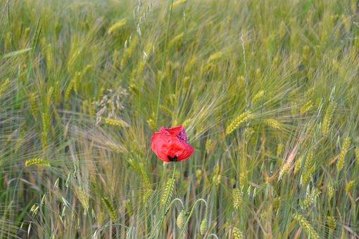 Poppy, Klatschmohn, Nature, Flower, Poppy Flower, Red