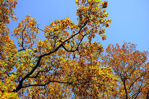 Oak, Oak Leaves, Leaf, Leaves, Autumn