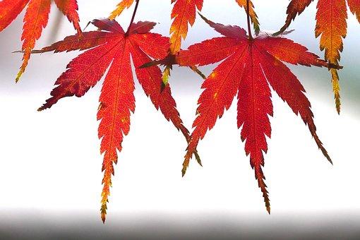 Foliage, Autumn Color, Kyoto, Maple, Leaves, Colorful