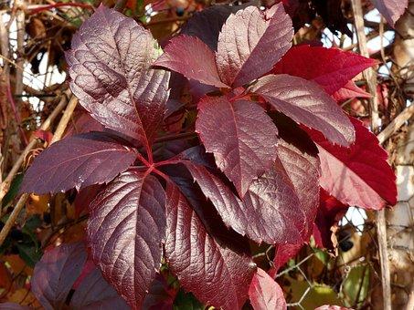 Vine-virgin, Leaves, Parthénocisus Quinquefolia